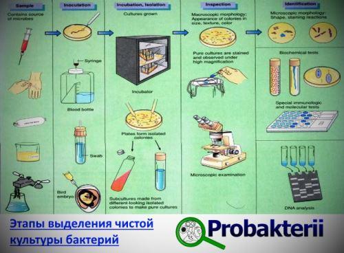 бактериальной культуры