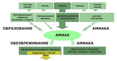 Схема образования мочевины из