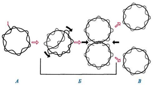 Схема репликации бактериальной