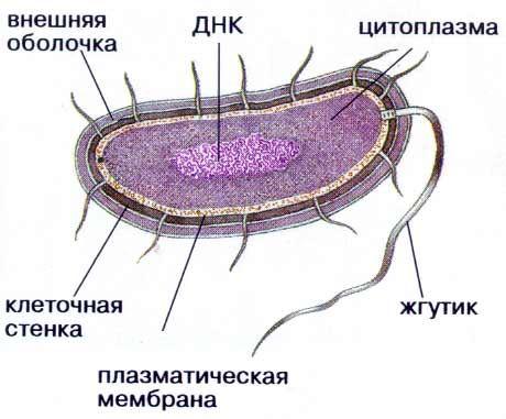 Строение бактерильной клетки