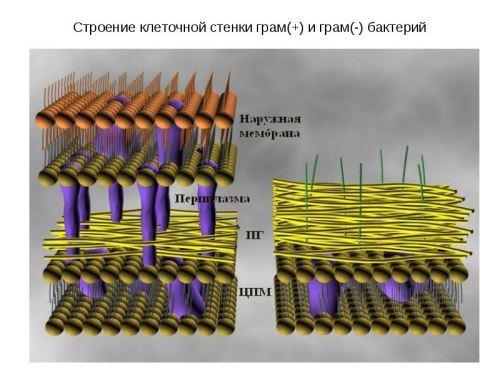 Строение клеточной стенки