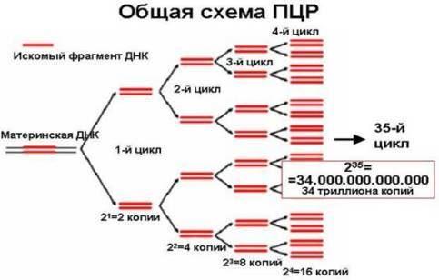 собой размножение ДНК.