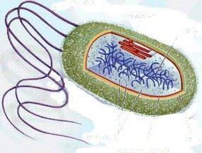 капсула бактериальной клетки