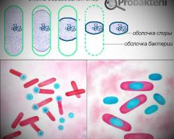 Отличие спор бактерий от спор грибов: разница в назначении
