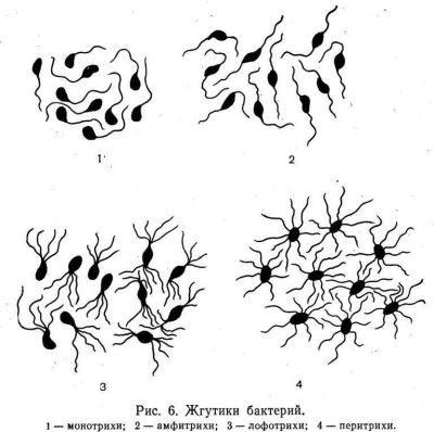 Какие различия имеют жгутиковые микроорганизмы