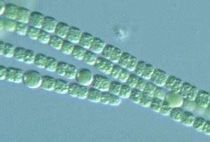 цианобактерии под микроскопом
