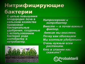 Нитрифицирующие бактерии