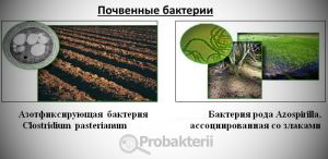 Почвенные бактерии