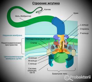 Строение бактериального жгутика