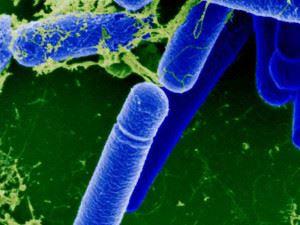 Сенная бацилла (Bacillus subtilis) под микроскопом