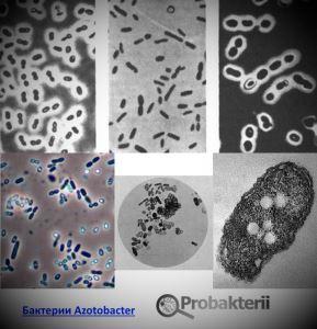 Azotobacter под микроскопом