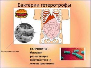 Бактерии сапрофиты