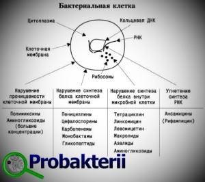 Действие антибиотиков на бактериальную клетку