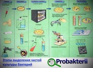 Этапы выделения чистой бактериальной культуры