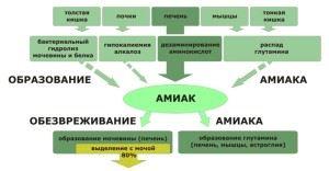 Схема образования мочевины из аммиака