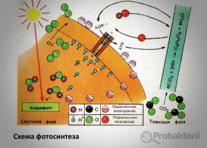 Схема фотосинтеза бактерий