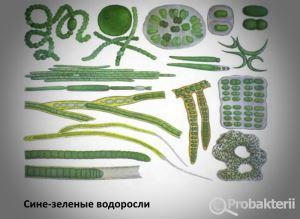 Сине-зеленые водоросли под микроскопом
