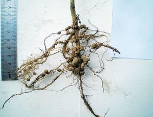 Клубеньки на корнях растений