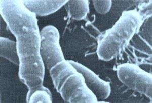 Фото  бактерий под микроскопом