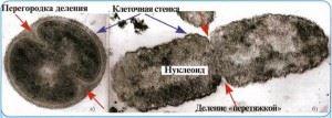 Схема деления грамположительных бактерий