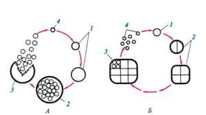 Циклы развития некоторых цианобактерий