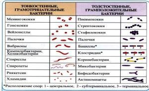грамотрицательные и грамположительные бактерии