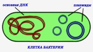 Строение бактериальной клетки: плазмиды