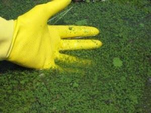 Цианобактерии в воде