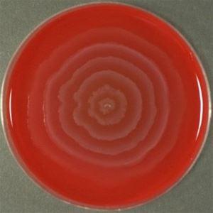О-форма бактериальной колонии