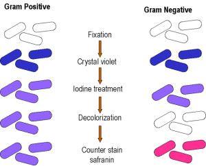 Окраска микроорганизмов по Граму