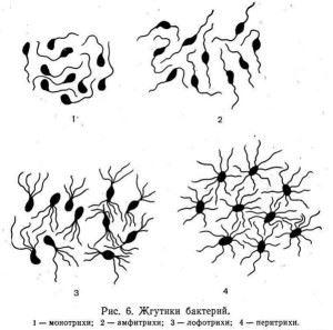 Расположение жгутиков у бактрий