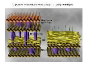 Строение клеточной стенки грамположительных и грамотрицательных бактерий