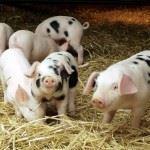 Бактериальная подстилка для животных