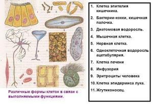 Разновидности клеток