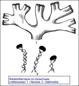 Бактерии Galionella и Nevskia