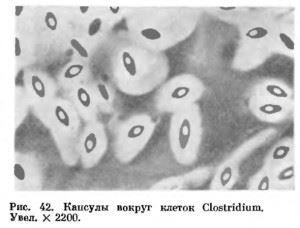 Капсулы бактерий