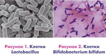 клетки лактобактерий и бифидобактерий