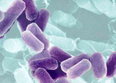 бактерии пурпурные