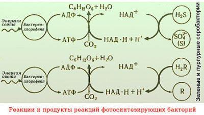 реакции фотосинтезирующих бактерий