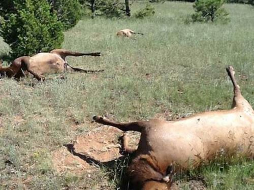 трупы коров
