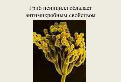 гриб пеницилл