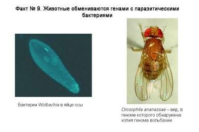 паразит вольбахия