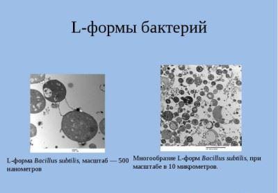 L-формы бактерий