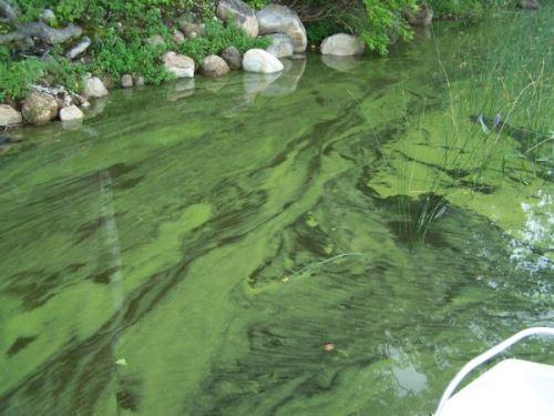 """""""Цветение"""" пресной воды из-за цианобактерий"""