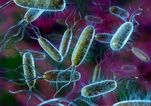 Кишечная палочка (E. coli)