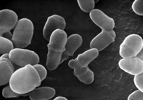 Malassezia restricta под микроскопом