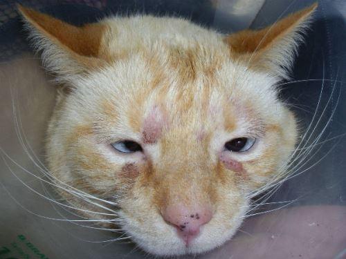 покраснение кожи у кошки