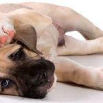 грибок в ушах у собаки