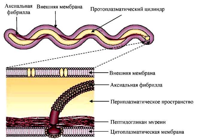 возбудитель сифилиса: морфология